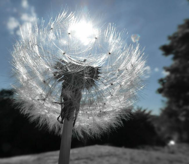 Waiting to be blown away.... Dandelion Seed Head Dandelion Clock Light As A Feather Seed Head Seedhead In The Sunshine Outdoors Sky Tree Fragility Focus On Foreground Close-up Beauty In Nature Sunspots My View EyeEm Nature Lover Simple Quiet Love Love Life♥ Waiting For The Wind Nature No People Day The Great Outdoors - 2017 EyeEm Awards Perspectives On Nature