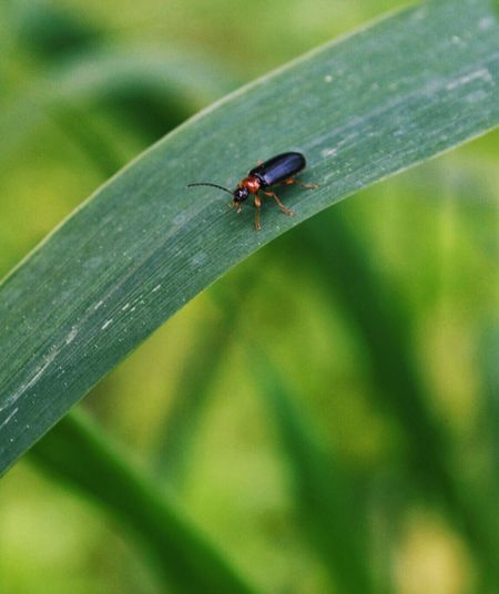 False Bombardier Beetle Beetle Nature Tall Grass Outdoor Photography Insect Red And Black Beetle Bug Closeup
