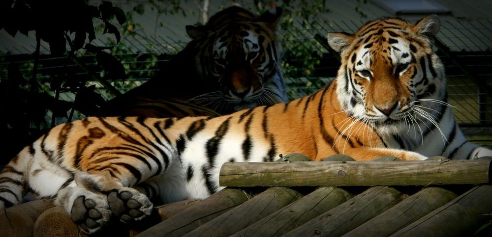 I got your back. Animal Themes Tiger Mammal Zoo Orange Color Captive Animals Bigcats Bigcatphotography Tigers Two Animals Two Is Better Than One Gorgeous