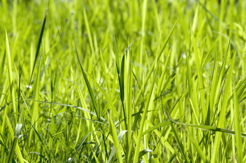 Green Color Plant Field Growth Land Full Frame Beauty In Nature Grass Backgrounds Nature No People Close-up Day Agriculture Tranquility Freshness Landscape Outdoors Rural Scene Selective Focus Blade Of Grass