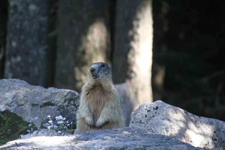 Marmotte Animal Nature