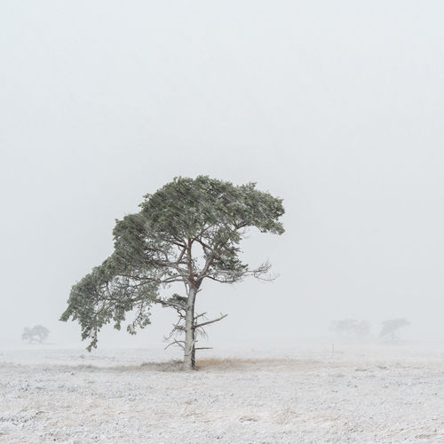Beautiful lone tree in a snowstorm at the Kalmthoutse Heide in Belgium. Landscape_Collection Snow ❄ Tranquility Winter Winterland Beauty In Nature Branch Isolated Landscape Lone No People Snow Snowstorm Solitude Tranquil Scene Tranquility Tree White Background Fresh On Market 2017