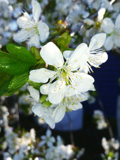 Nature Flower Close-up Plant Beauty In Nature Fragility Flower Head Blossom White Color Growth Leaf Outdoors No People Freshness Day Blooming Blooming Cherry Tree Cherry Flower Cherry Flowers Flowers Cherry Tree Flower
