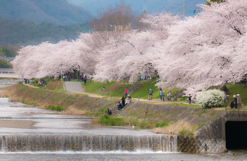 People by cherry blossom trees at kamo river