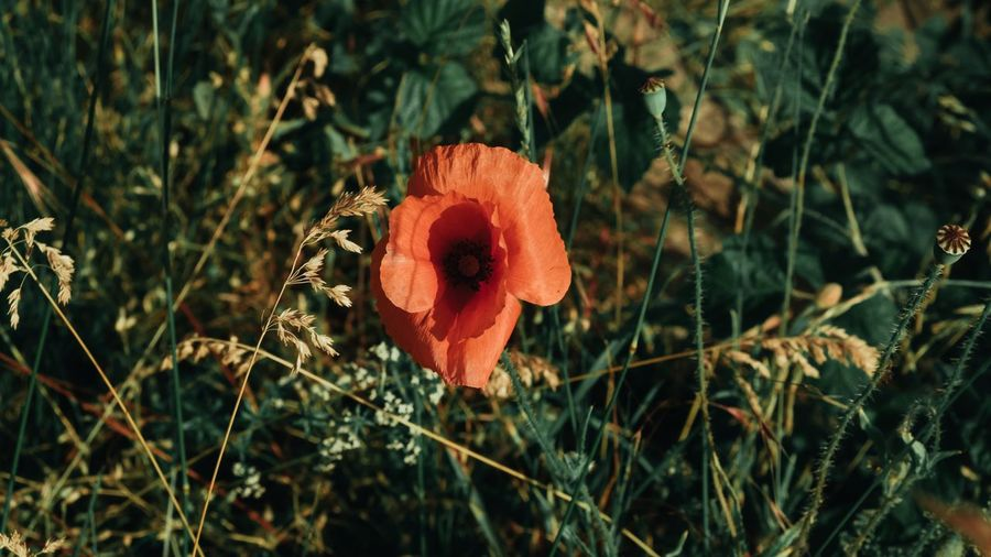 Plant Flowering Plant Beauty In Nature Flower Fragility Growth Freshness Vulnerability  Petal Flower Head Inflorescence Close-up Nature Field Focus On Foreground Land Orange Color No People Day Outdoors Orange Poppy