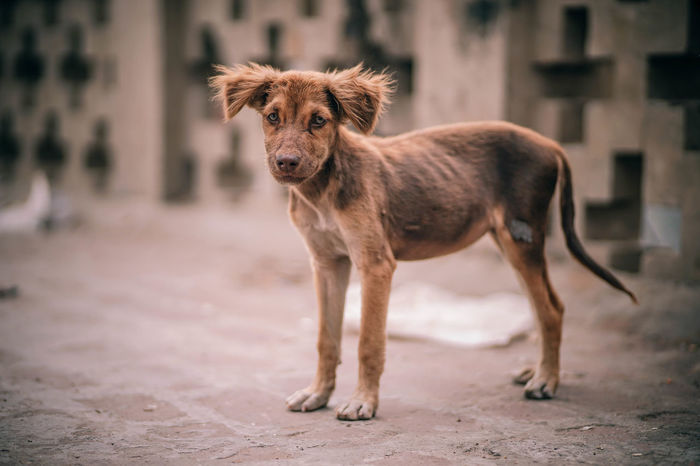 Malnourished Puppy Alone Bones Eating Feeding  Hair Hungry Abandoned Animal Biting Bread Brown Canine Dirt Dirty Dog Domestic Eat Food Garbage Leftovers Malnourished Pet Poverty Starve Stray