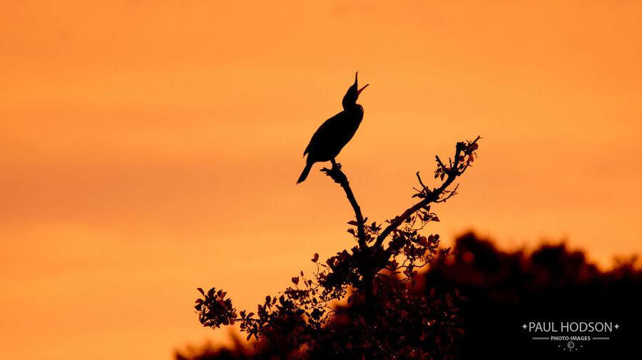 Cormorant on