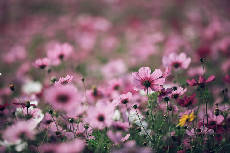 Cosmos Flower Beauty In Nature Close-up Day Field Flower Flower Head Flowering Plant Fragility Freshness Growth Inflorescence Land Nature No People Outdoors Petal Pink Color Plant Selective Focus Springtime Vulnerability