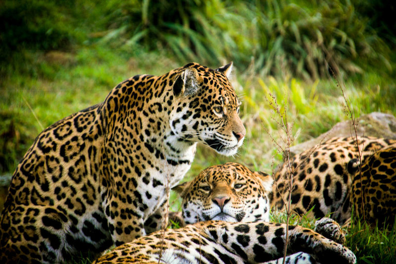 Three Leopards Relaxing