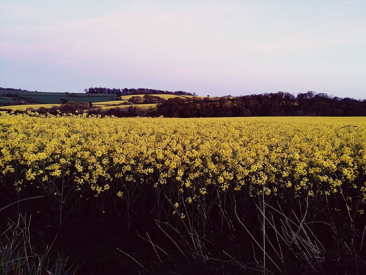 agriculture, field, crop, farm, yellow, growth, nature, cultivated land, rural scene, flower, plant, oilseed rape, beauty in nature, sky, no people, tranquility, cultivated, scenics, landscape, tranquil scene, outdoors, day, freshness