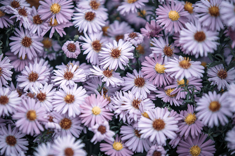 Full frame shot of daisies