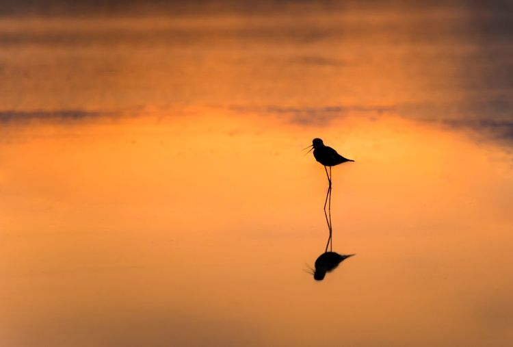 Bird Sunset Animal Animal Themes Vertebrate Animals In The Wild Animal Wildlife Silhouette Sky Orange Color One Animal Nature No People Beauty In Nature Outdoors Scenics - Nature