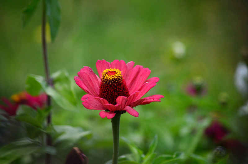 Beauty In Nature Blooming Close-up Day Flower Flower Head Focus On Foreground Fragility Freshness Green Color Growth Leaf Nature No People Outdoors Park - Man Made Space Petal Pink Color Plant Red Zinnia