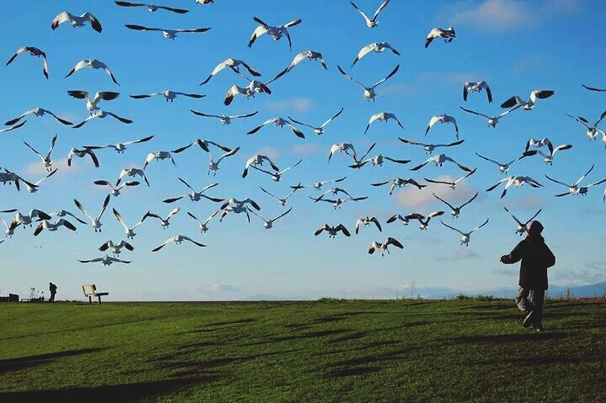 Streamzoofamily Tadaa Community Taking Photos Nature_collection Chasing the Snow Geese