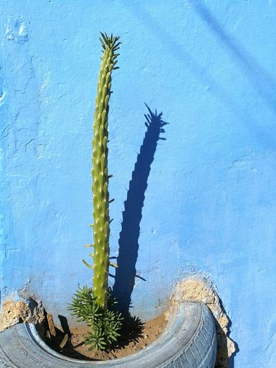cactus shadow on blue wall, chefchaoune Morocco MyWanderLust Soonjourney Wall Blue Chefchaoune Morocco Africa Cactus Close-up Plant Sky Growing