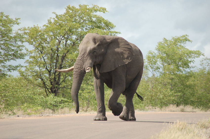 African Elephant Animal Wildlife Animals In The Wild Beauty In Nature Elephant No People One Animal Outdoors Tusk