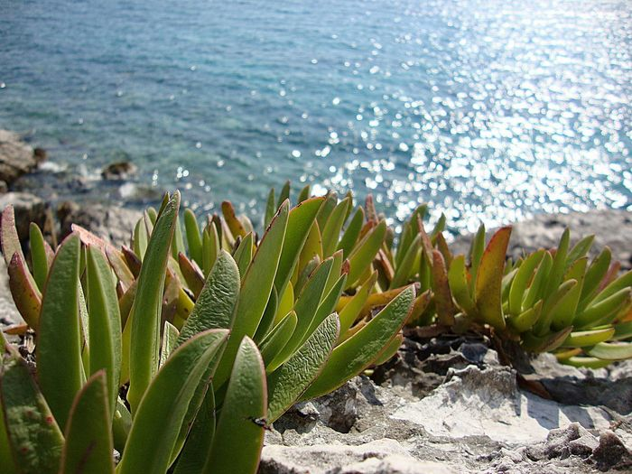 Sea, Dubrovnik, Srebreno, beach Beach Beauty In Nature Cactus Close-up Day Dubrovnik Green Color Growth Horizon Over Water Nature No People Outdoors Plant Prickly Pear Cactus Scenics Sea Sea And Sky Season  Sky Srebreno Sunlight Tranquil Scene Tranquility Water