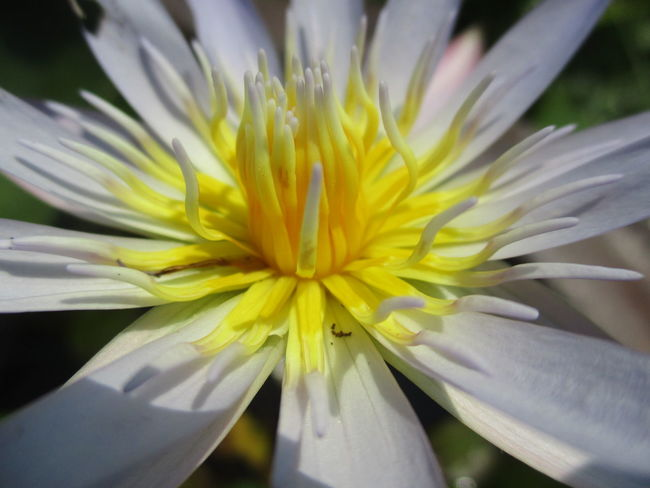 flower Lotus Flower Beauty In Nature Blooming Close-up Day Flower Flower Head Fragility Freshness Growth Lotus Water Lily Nature No People Outdoors Petal Plant Pollen Springtime Stamen Yellow ดอกบัว