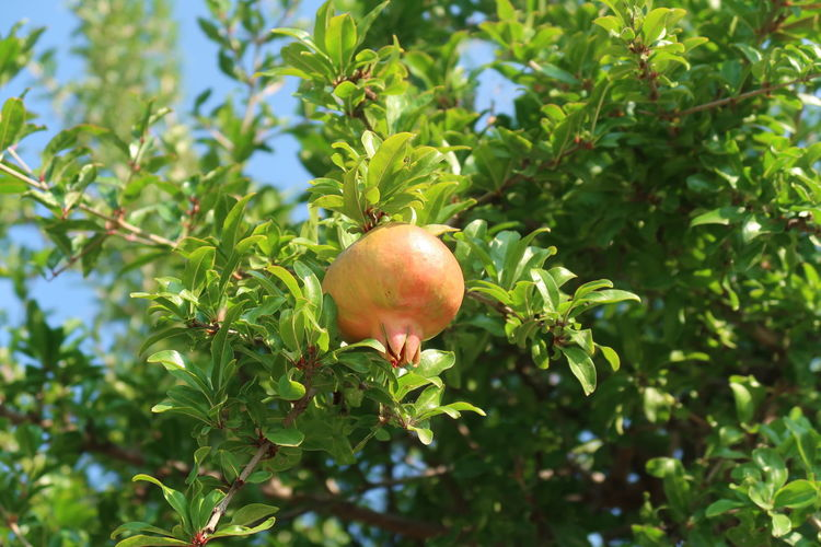 pomegranate Agriculture Mediterranean  Close Up Food Food And Drink Freshness Fruit Fruit Tree Garden Green Color Growth Healthy Eating Leaf Nature No People Organic Organic Food Outdoors Plant Plant Part Pomegranate Raw Food Ripe Summer Tree