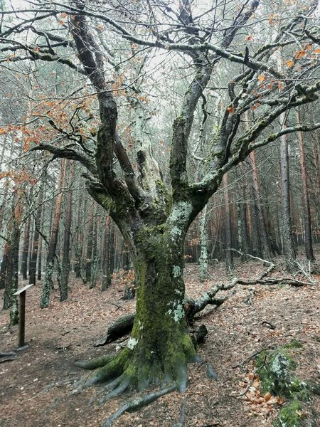 Hayedo de la Tejera Negra Tree Nature Outdoors Beauty In Nature Forest No People SPAIN Nature Outdoor Photography Rural Scene Landscape Tourism Mountain Mountain_collection Travel Destinations Tree Mountain View Hayedo Tejera Negra Hayedo