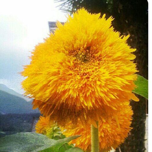 Sunflower Flower Sky Nature Capturemoment