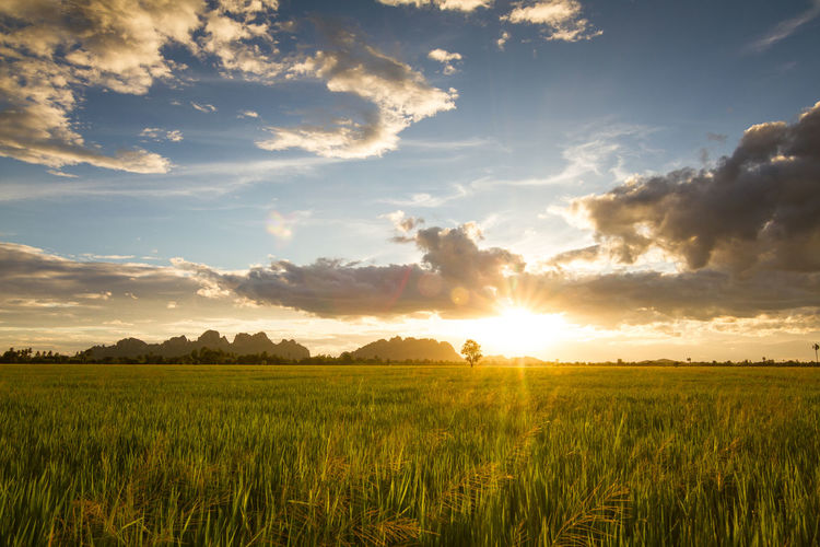 Green rice field at sunset. Sky Field Beauty In Nature Scenics - Nature Tranquility Environment Landscape Cloud - Sky Tranquil Scene Rural Scene Land Sunset Agriculture Plant Crop  Sunlight Sun Nature Growth Farm No People Lens Flare Bright Outdoors