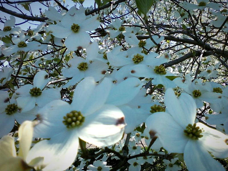 Plant Life East Tennessee Knoxville Tennessee My Property Outdoors Outdoor Photography Close Up Photography Tree Close Up Dogwood Dogwood Tree Dogwoodflowers White Flower