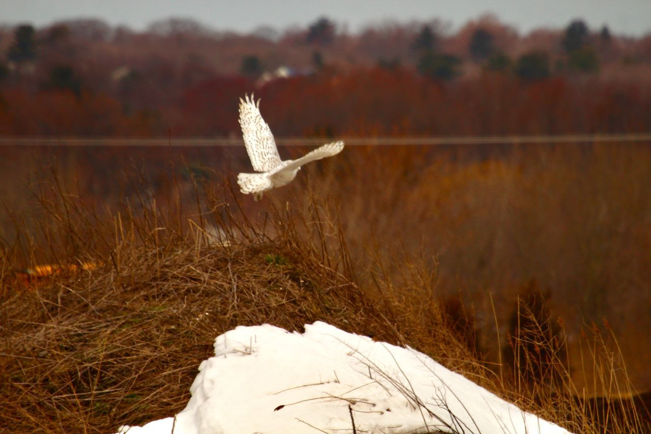 flying, nature, day, plant, bird, animal, animal wildlife, animal themes, land, white color, animals in the wild, focus on foreground, vertebrate, no people, field, spread wings, outdoors, one animal, mid-air, beauty in nature
