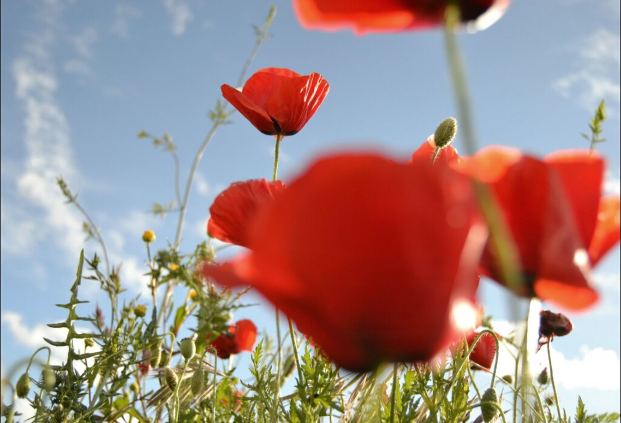 flower, nature, red, beauty in nature, growth, plant, petal, poppy, freshness, fragility, close-up, outdoors, no people, flower head, day, blooming, sky