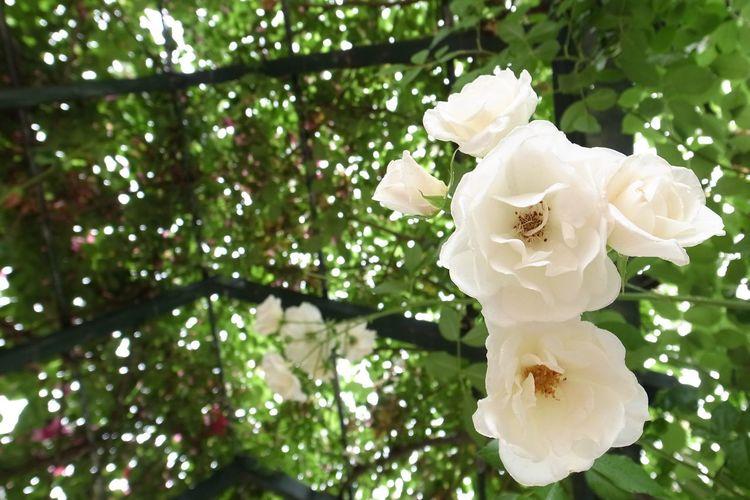 大神ファーム 日出町 大分県 Roses Flower