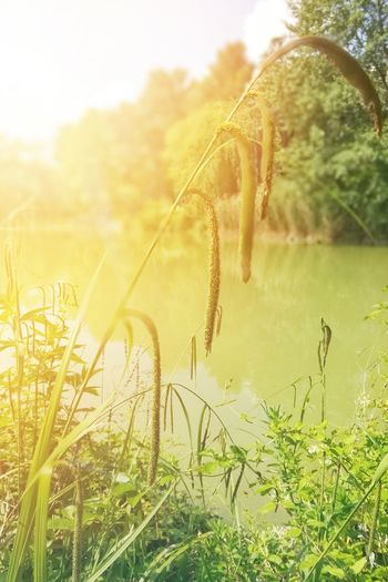 sunset on the lake Sunset Sunset Collection Sunset_collection Lake Water Green Nature Nature Collection Sunlight Uncultivated Flower Water Close-up Sky Grass Plant Green Color Botany Blossom Flower Head Focus Plant Life In Bloom Wildflower Pollen Timothy Grass