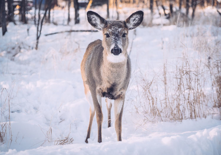 Portrait of deer on snow covered field
