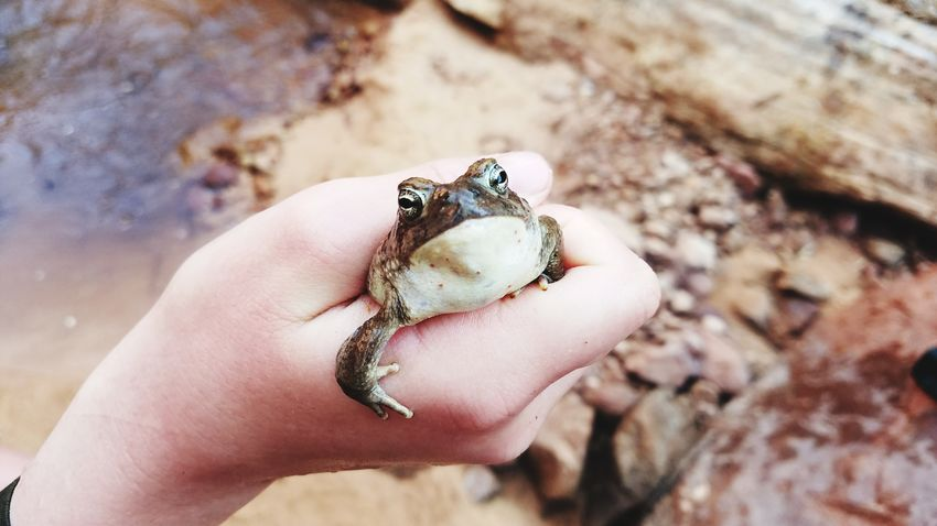 The kids caught a toad on a hike last week Human Hand Animal Themes People Holding Nature One Person Frog Toads And Frogs One Animal Animals In The Wild Amphibians Animals Frog In Hand Croak Croak Animal Faces