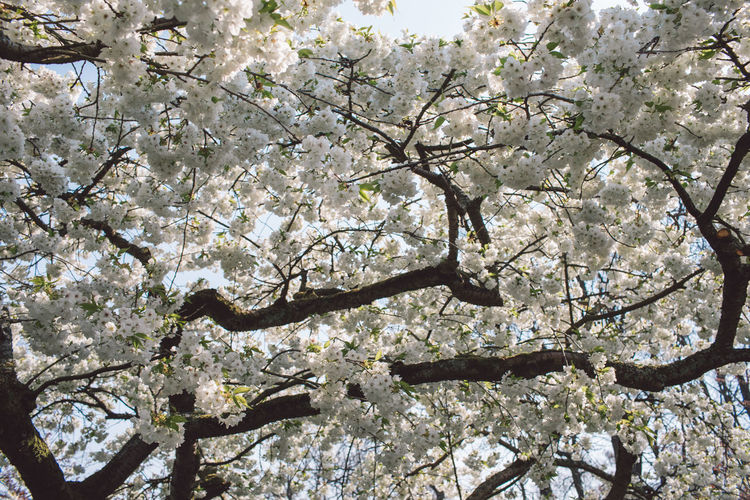 Branches Tree Cherry Tree Cherry Blossom Low Angle View Against The Sky Day Outdoors Nature Beauty In Nature Garden White