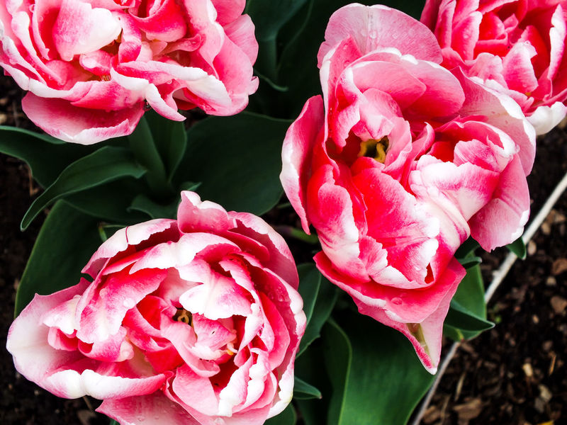 Flowers Flowers,Plants & Garden Flower Photography Tulip Tulips Tulips Flowers Parrot Tulip Parrot Tulips Garden Garden Photography