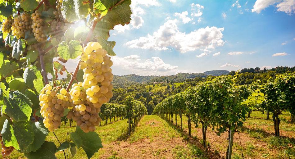 Grapes in vineyard against sky