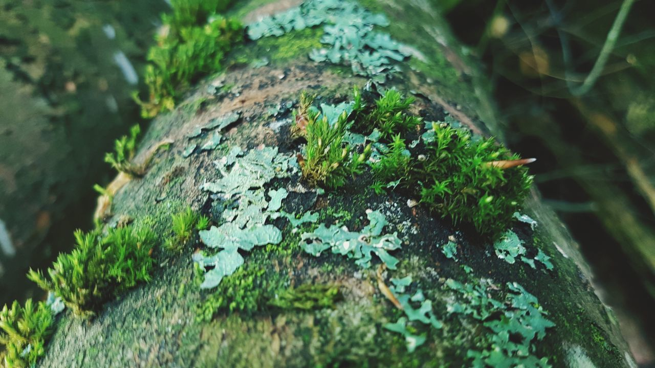 plant, moss, green color, tree trunk, close-up, growth, selective focus, trunk, lichen, day, nature, no people, tree, fungus, outdoors, rough, textured, focus on foreground, rock, wood - material, bark