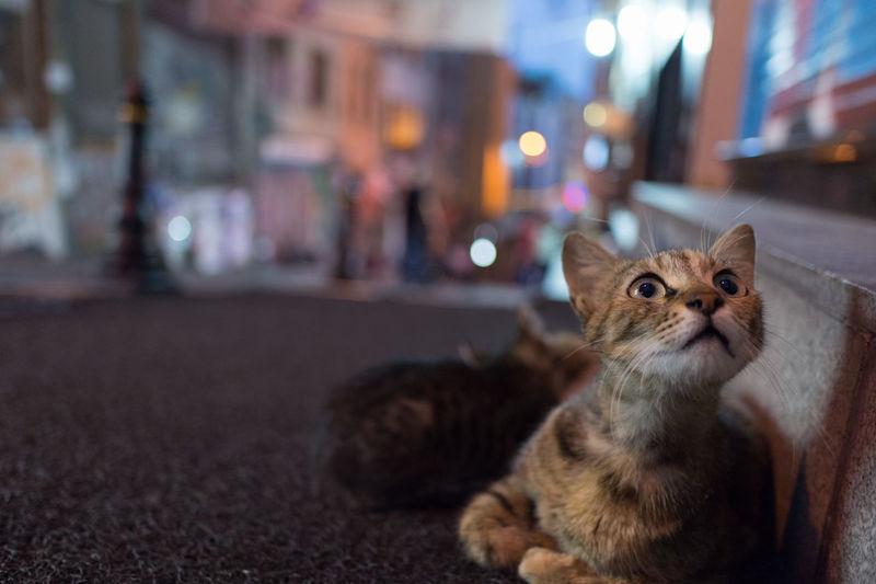 Cat On City Street