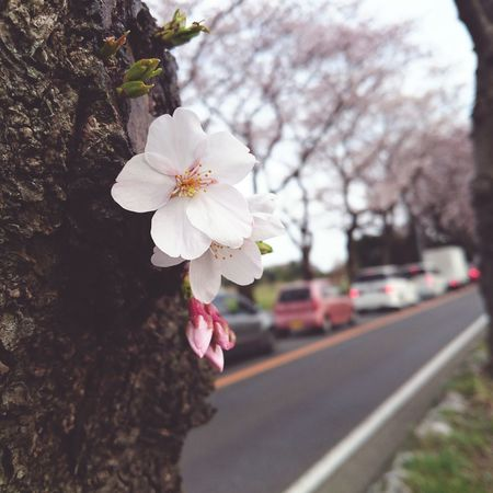 Urban Spring Fever Traffic Jam Car Sakura Cherry Blossoms Cherry Blossom Cherrytree Flower Pink Pink Flower Bud Close-up Bokeh Japan Taking Photos Streetphotography Colors Of Spring Travel Photography Beautiful Nature Nature Nature Photography Nature's Diversities | Xperia Z4 Ultimate Japan Fine Art Photography