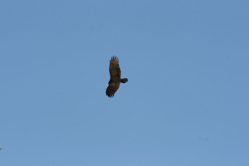 Animal Themes Animal Wildlife Animals In The Wild Bird Bird Of Prey Birds Buzzard  Clear Sky Day Flying Horizontal Low Angle View Nature No People One Animal Outdoors Raptor Sky Spread Wings Vulture