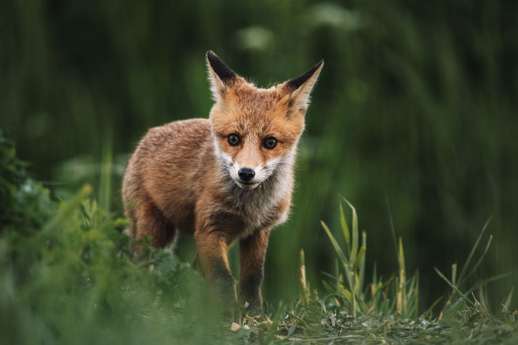 Portrait of a red fox cub  standing in field in the wilderness