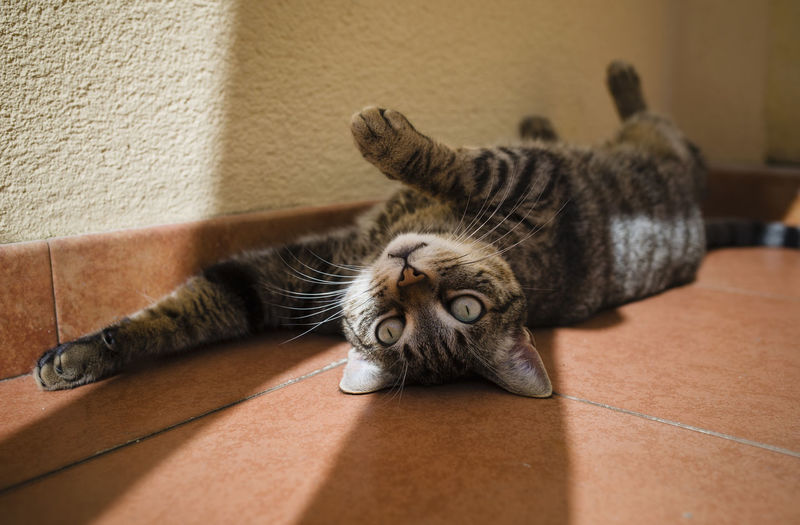 Portrait of a cat lying on floor at home