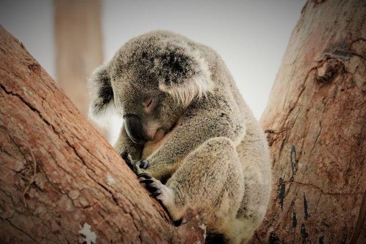 Koala sitting on tree trunk