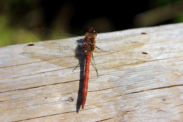 Close-Up Of Dragonfly On Wooden Surface