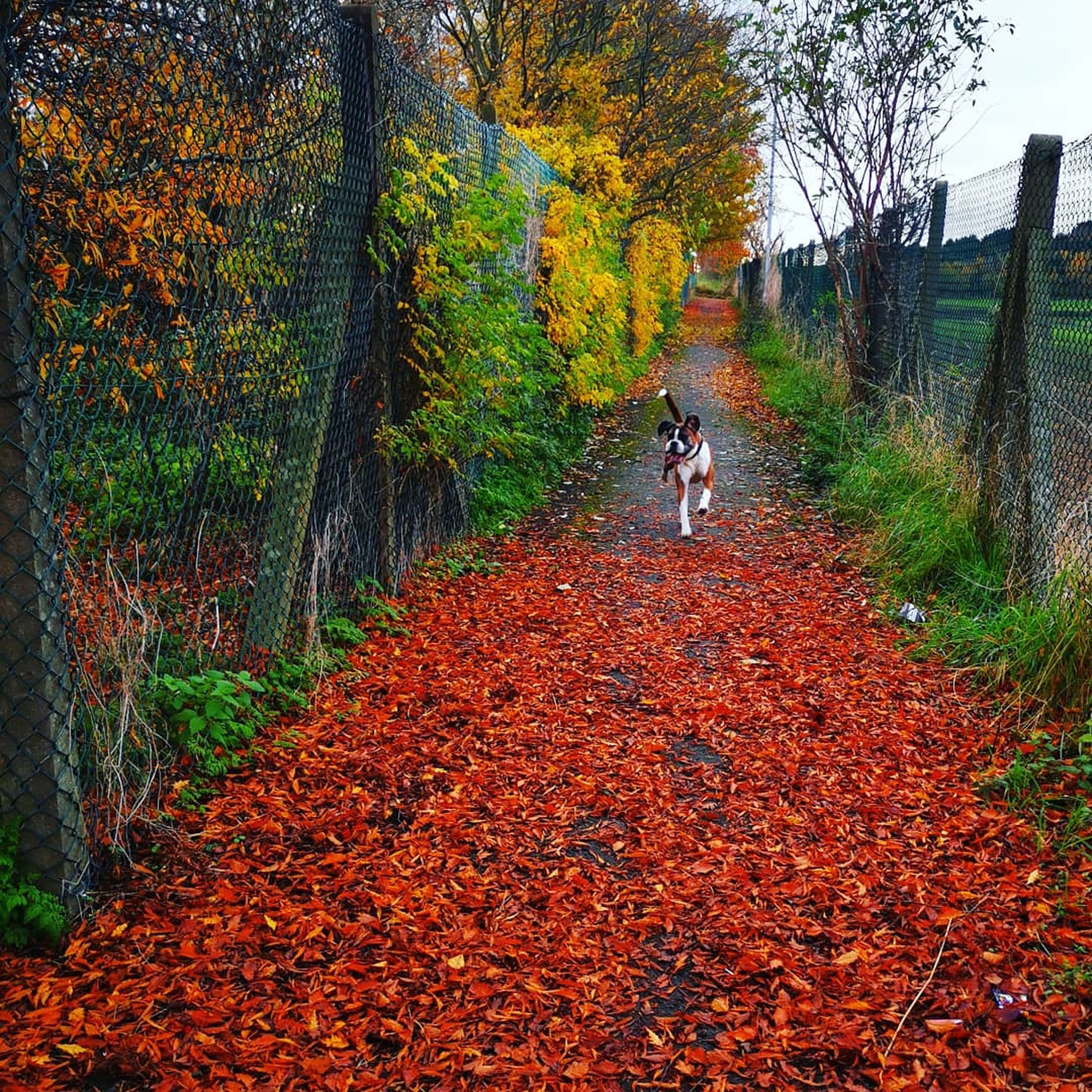 autumn, mammal, tree, domestic animals, domestic, pets, animal themes, animal, canine, dog, one animal, plant, change, vertebrate, plant part, leaf, nature, land, footpath, day, outdoors, pet owner, autumn collection