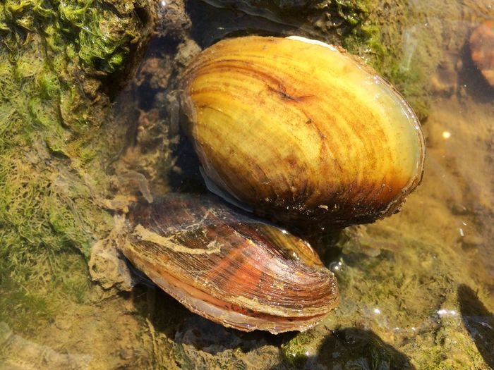 Clams/mussels No People Nature Day Animal Themes One Animal Animals In The Wild Close-up Outdoors Beauty In Nature River Clam Clams Mussels Mussel Musselshell Water Waterlife Water Life River Life Water Creatures Shell Shells Aquatic Life