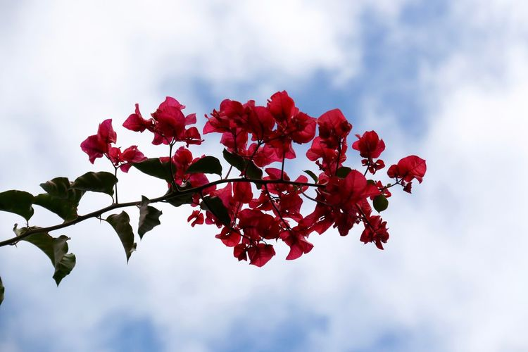 Beauty In Nature Blooming Blossom Blume Buganbilias Buganvilla Buganville Buganvílias Close-up Cloud Cloud - Sky Cloudy Flower Focus On Foreground Growth Leaf Low Angle View Nature Red Sky