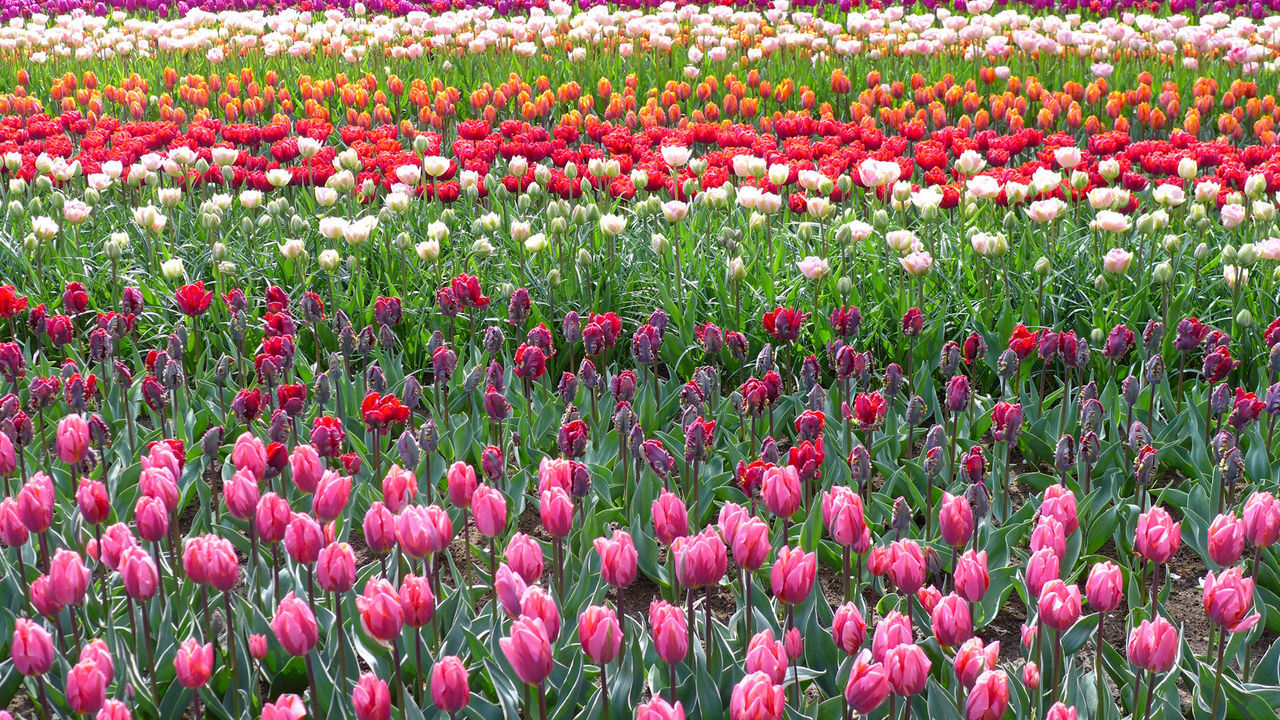 flowering plant, flower, plant, beauty in nature, freshness, tulip, red, vulnerability, growth, fragility, land, field, nature, abundance, multi colored, backgrounds, full frame, day, flower head, no people, flowerbed, outdoors, springtime, gardening