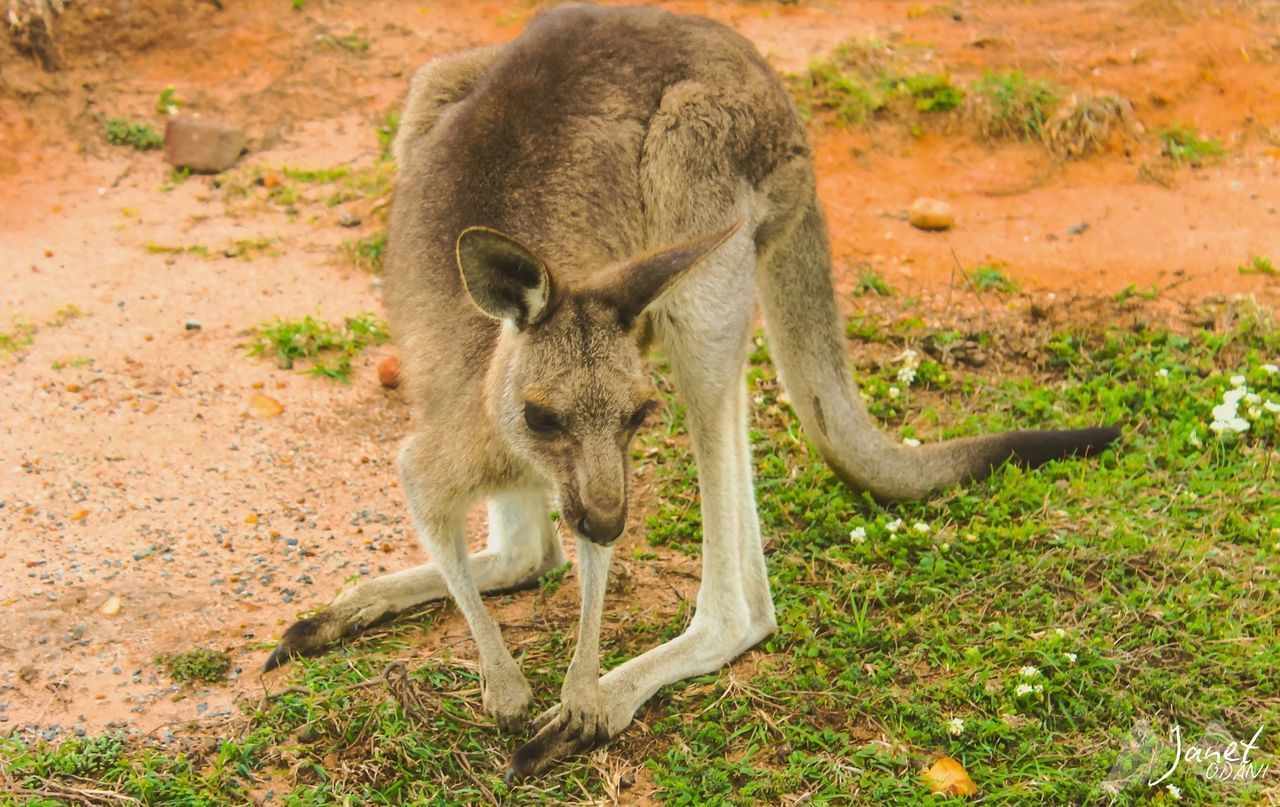 animal wildlife, animals in the wild, mammal, one animal, no people, kangaroo, land, nature, day, vertebrate, field, full length, young animal, plant, outdoors, focus on foreground, portrait