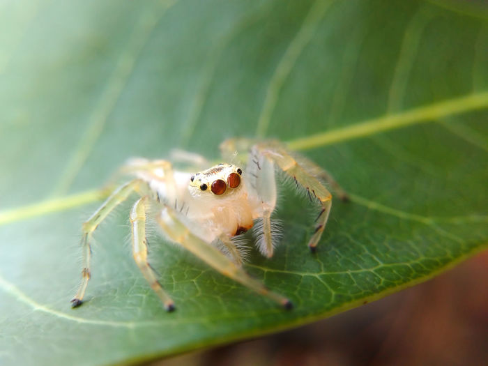 Jumping Spider Macro Nature Animal Wildlife Animal Themes Close-up Spider Leaf Nature No People Day Outdoors Beauty In Nature Spider Mobile Photography Animals In The Wild